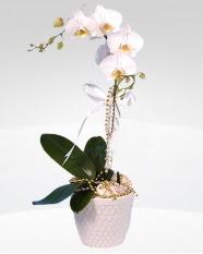 1 dallı orkide saksı çiçeği  Şırnak çiçek gönderme sitemiz güvenlidir