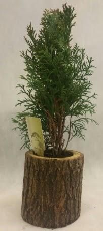 SINIRLI STOK Selvi Bonsai Doğal kütükte  Şırnak çiçek gönderme