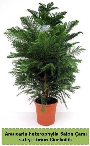 Salon Çamı Satışı Araucaria heterophylla  Şırnak hediye çiçek yolla