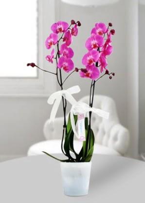 Çift dallı mor orkide  Şırnak online çiçek gönderme sipariş
