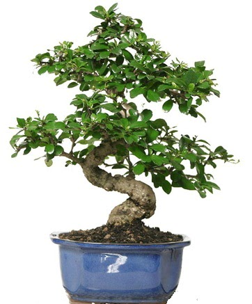 21 ile 25 cm arası özel S bonsai japon ağacı  Şırnak ucuz çiçek gönder