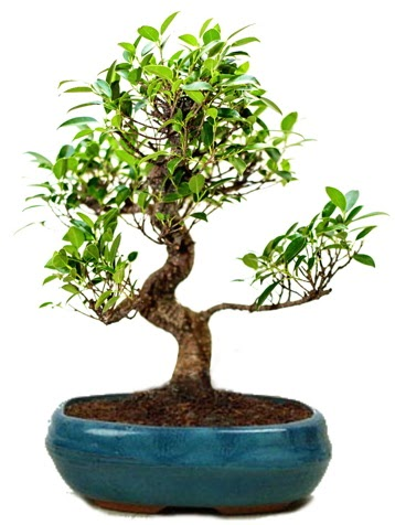 25 cm ile 30 cm aralığında Ficus S bonsai  Şırnak çiçekçi telefonları
