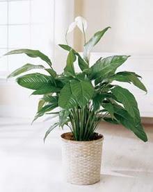 Şırnak uluslararası çiçek gönderme  spatilyum ithal büyük boy