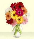 Şırnak çiçek yolla  cam yada mika vazoda 15 özel gerbera