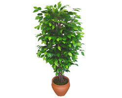 Ficus Benjamin 1,50 cm   Şırnak çiçek servisi , çiçekçi adresleri