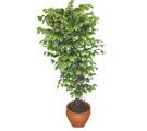 Ficus özel Starlight 1,75 cm   Şırnak 14 şubat sevgililer günü çiçek