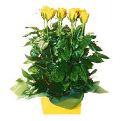 11 adet sari gül aranjmani  Şırnak çiçek gönderme sitemiz güvenlidir