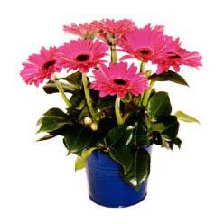 vazo içerisinde gerbera çiçekleri   Şırnak uluslararası çiçek gönderme
