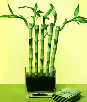 Şırnak çiçek servisi , çiçekçi adresleri  Good Harmony Lucky Bamboo camda