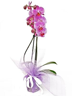 Şırnak çiçek servisi , çiçekçi adresleri  Kaliteli ithal saksida orkide