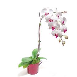 Şırnak çiçek , çiçekçi , çiçekçilik  Saksida orkide