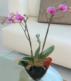 Şırnak çiçekçiler  tek dal ikili orkide saksi çiçegi