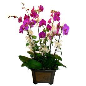 Şırnak 14 şubat sevgililer günü çiçek  4 adet orkide çiçegi