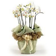 Şırnak internetten çiçek siparişi  3 dal orkide , saksi çiçegi , 3 kök orkide