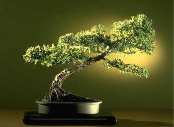 ithal bonsai saksi çiçegi  Şırnak çiçekçiler