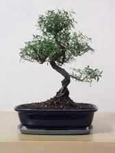 ithal bonsai saksi çiçegi  Şırnak cicekciler , cicek siparisi