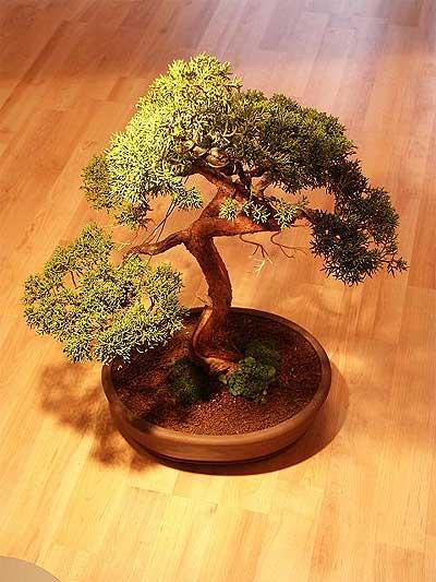 ithal bonsai saksi çiçegi  Şırnak yurtiçi ve yurtdışı çiçek siparişi