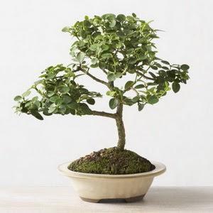 ithal bonsai saksi çiçegi  Şırnak kaliteli taze ve ucuz çiçekler