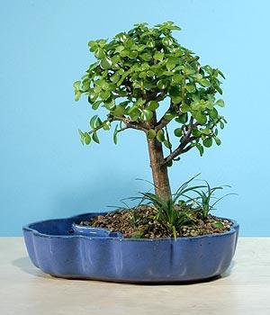 ithal bonsai saksi çiçegi  Şırnak online çiçek gönderme sipariş