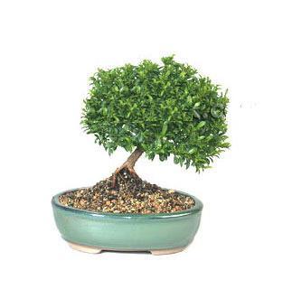 ithal bonsai saksi çiçegi  Şırnak anneler günü çiçek yolla