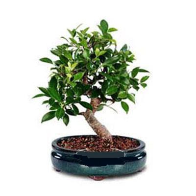 ithal bonsai saksi çiçegi  Şırnak internetten çiçek siparişi