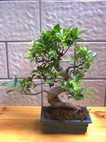 ithal bonsai saksi çiçegi  Şırnak çiçek mağazası , çiçekçi adresleri