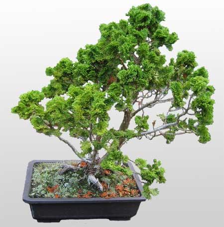 ithal bonsai saksi çiçegi  Şırnak çiçek gönderme