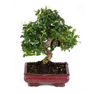 ithal bonsai saksi çiçegi  Şırnak çiçek servisi , çiçekçi adresleri