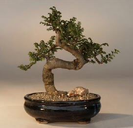 ithal bonsai saksi çiçegi  Şırnak çiçek online çiçek siparişi