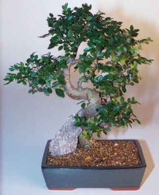 Şırnak çiçekçi telefonları  ithal bonsai saksi çiçegi  Şırnak internetten çiçek siparişi