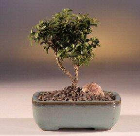 Şırnak çiçek satışı  ithal bonsai saksi çiçegi  Şırnak çiçek siparişi vermek
