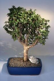 Şırnak çiçek , çiçekçi , çiçekçilik  ithal bonsai saksi çiçegi  Şırnak online çiçek gönderme sipariş