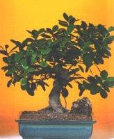 Şırnak ucuz çiçek gönder  ithal bonsai saksi çiçegi  Şırnak cicek , cicekci