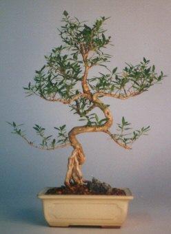 Şırnak hediye çiçek yolla  ithal bonsai saksi çiçegi  Şırnak cicekciler , cicek siparisi