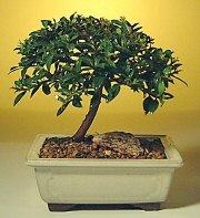 Şırnak çiçek siparişi sitesi  ithal bonsai saksi çiçegi  Şırnak 14 şubat sevgililer günü çiçek