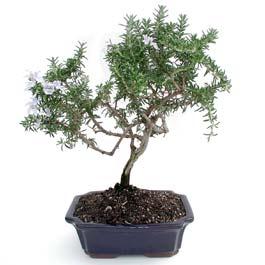 ithal bonsai saksi çiçegi  Şırnak ucuz çiçek gönder