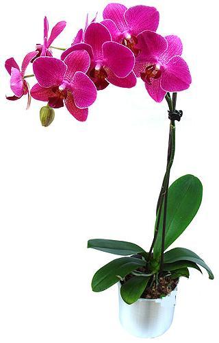 Şırnak çiçekçiler  saksi orkide çiçegi