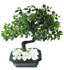 9 yasinda Bonsai agaci  Şırnak İnternetten çiçek siparişi