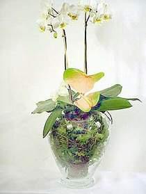 Şırnak hediye çiçek yolla  Cam yada mika vazoda özel orkideler