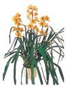 Şırnak online çiçek gönderme sipariş  Orchiede ithal büyük boy saksi
