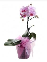 1 dal pembe orkide saksı çiçeği  Şırnak online çiçekçi , çiçek siparişi