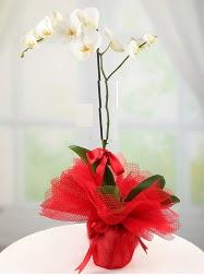 1 dal beyaz orkide saksı çiçeği  Şırnak İnternetten çiçek siparişi