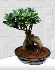 saksı çiçeği japon ağacı bonsai  Şırnak online çiçekçi , çiçek siparişi