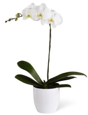 1 dallı beyaz orkide  Şırnak çiçek online çiçek siparişi