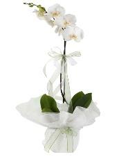 1 dal beyaz orkide çiçeği  Şırnak cicekciler , cicek siparisi
