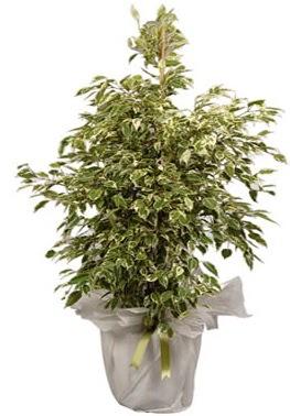 Orta boy alaca benjamin bitkisi  Şırnak çiçek siparişi vermek