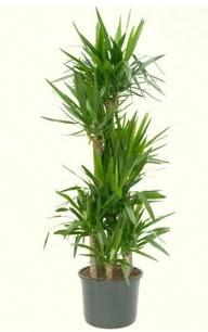 7 li yucca saksı bitkisi  Şırnak güvenli kaliteli hızlı çiçek