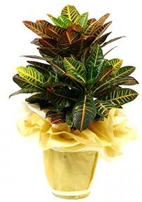 Orta boy kraton saksı çiçeği  Şırnak çiçek online çiçek siparişi