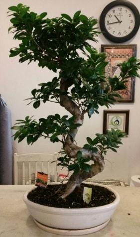 100 cm yüksekliğinde dev bonsai japon ağacı  Şırnak çiçek gönderme