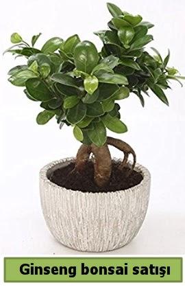 Ginseng bonsai japon ağacı satışı  Şırnak ucuz çiçek gönder